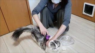 「ママにブラッシングされる白モフ猫」の巻