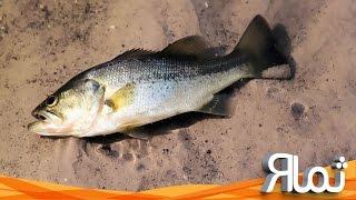 شاهد ماذا فعلت هذه السمكة _ سبحان الله !!