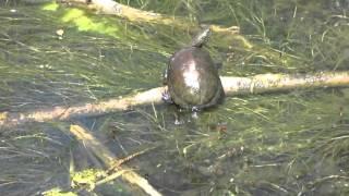 Болотная черепаха и уж