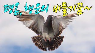☞【꿈보다해몽】평화,사랑의비둘기꿈입니다.좋은시간되세요~