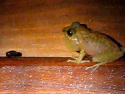 OD6 bruit de grenouille