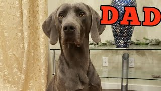 Meet Weimaraner Baikal, Our Puppies' Dad!