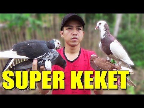 BURUNG MERPATI PLONTANG GIRING SUPER KEKET #MERPATIKU