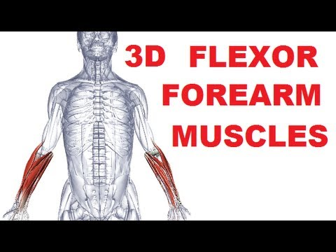 Forearm Muscles Anatomy - Anterior Compartment (Flexors) Part 1 ...