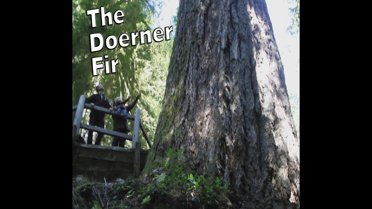the doerner fir worlds tallest douglas fir youtube