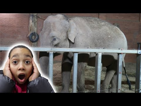 GIANT ELEPHANT at the ZOO!