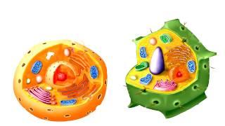 Органеллы (органоиды) клетки | Цитология | ЕГЭ и ОГЭ [Alpha]
