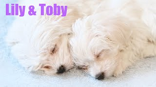 Funny Puppies Playing Together | Cutest Maltese | Best Small Dog Breeds