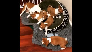 BEAUTIFUL BASENJI DOGS 2020