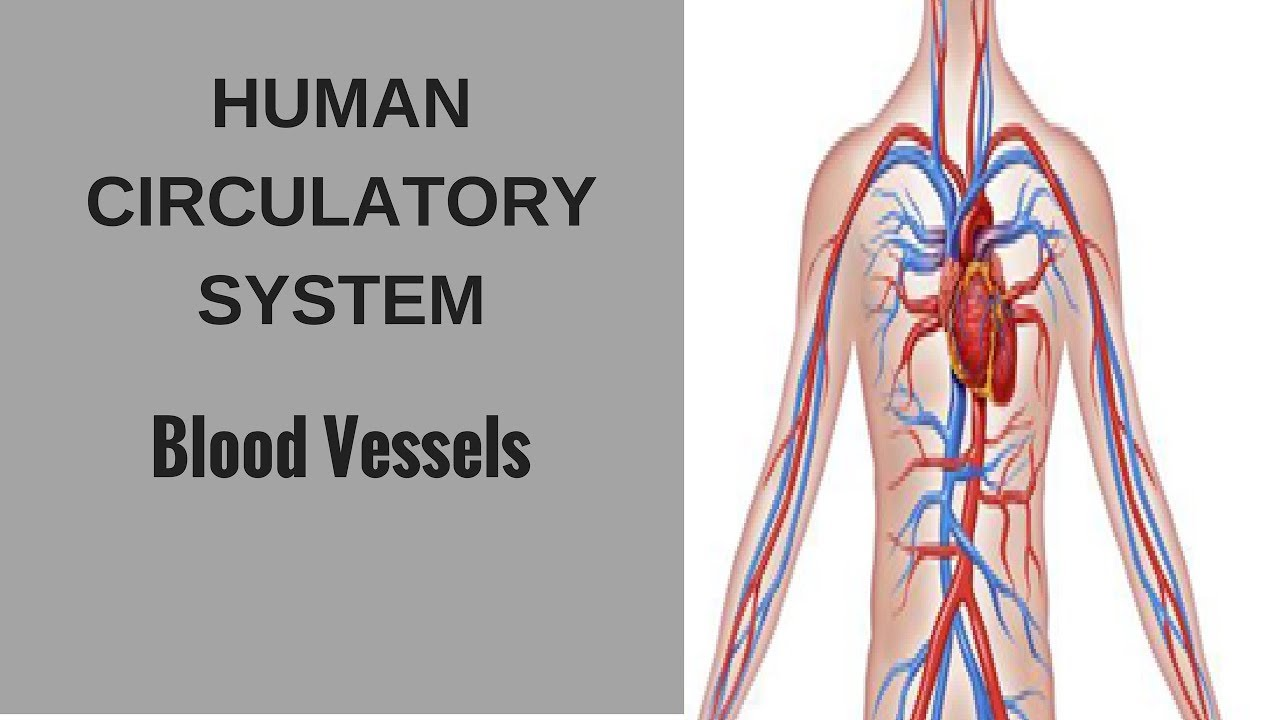 Human Circulatory System Blood Vessels Youtube