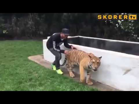 Напугали тигра исподтишка