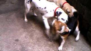 Beagle Vs Labrador And Dalmatian