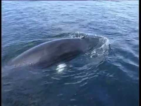Minke Whale Species Identification
