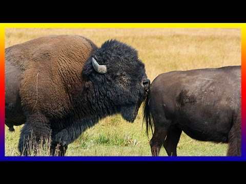 Amazing Bison Breed Calling Fighting Mating And Giving Birth In Nature