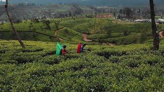 Tea Plantations in Sri Lanka