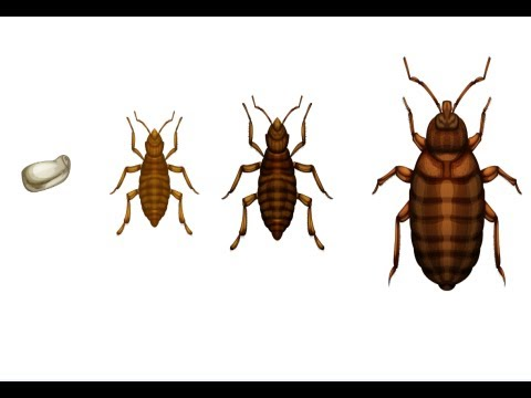 How To Kill Bed Bugs Get Rid Of Bed Bugs Quick Youtube