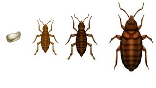 How to Kill Bed Bugs - Get Rid of Bed Bugs Quick