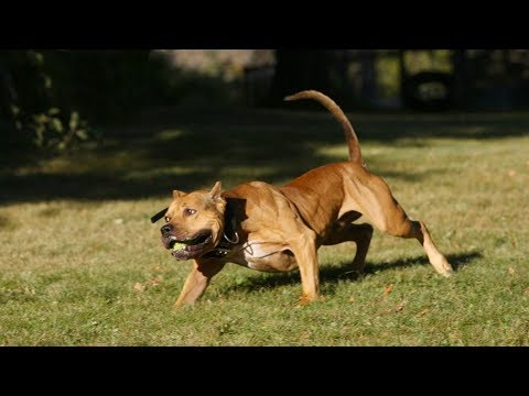 Extreme Trained & Disciplined Pitbull Terrier Dogs