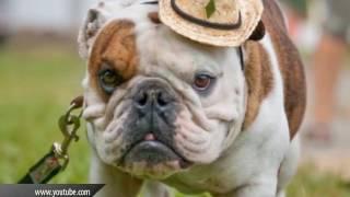 Топ-10 гладкошерстных пород собак