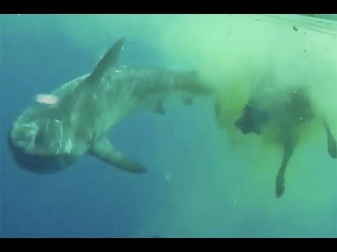 tubarão come vaca no mar, tiger shark eating cow - YouTube