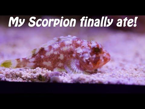 Scorpion Fish Eats On Camera!