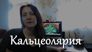 видео Кальцеолярия - выращивание из семян, фото растения