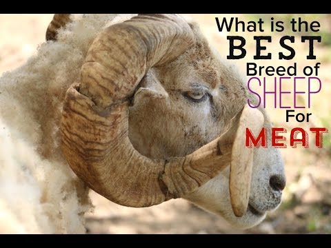 What is the Best Breed of Sheep For Meat on a Homestead?