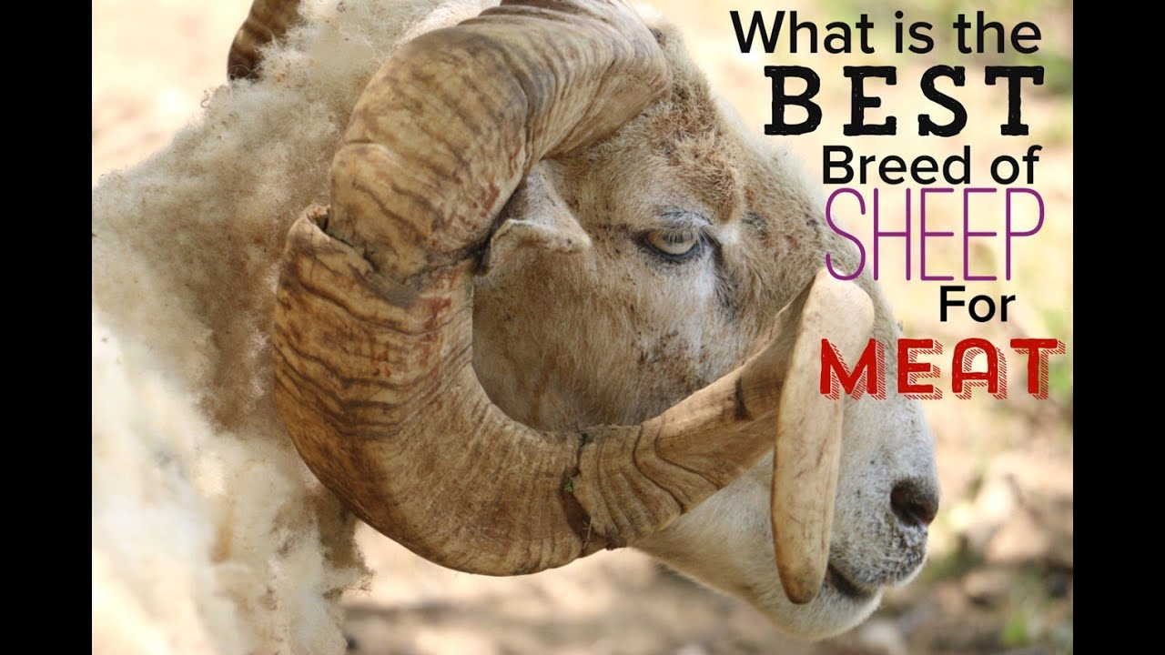 Download What is the Best Breed of Sheep For Meat on a Homestead?