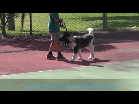 Basic Obedience - Akita - Kai- The K9 Training Academy
