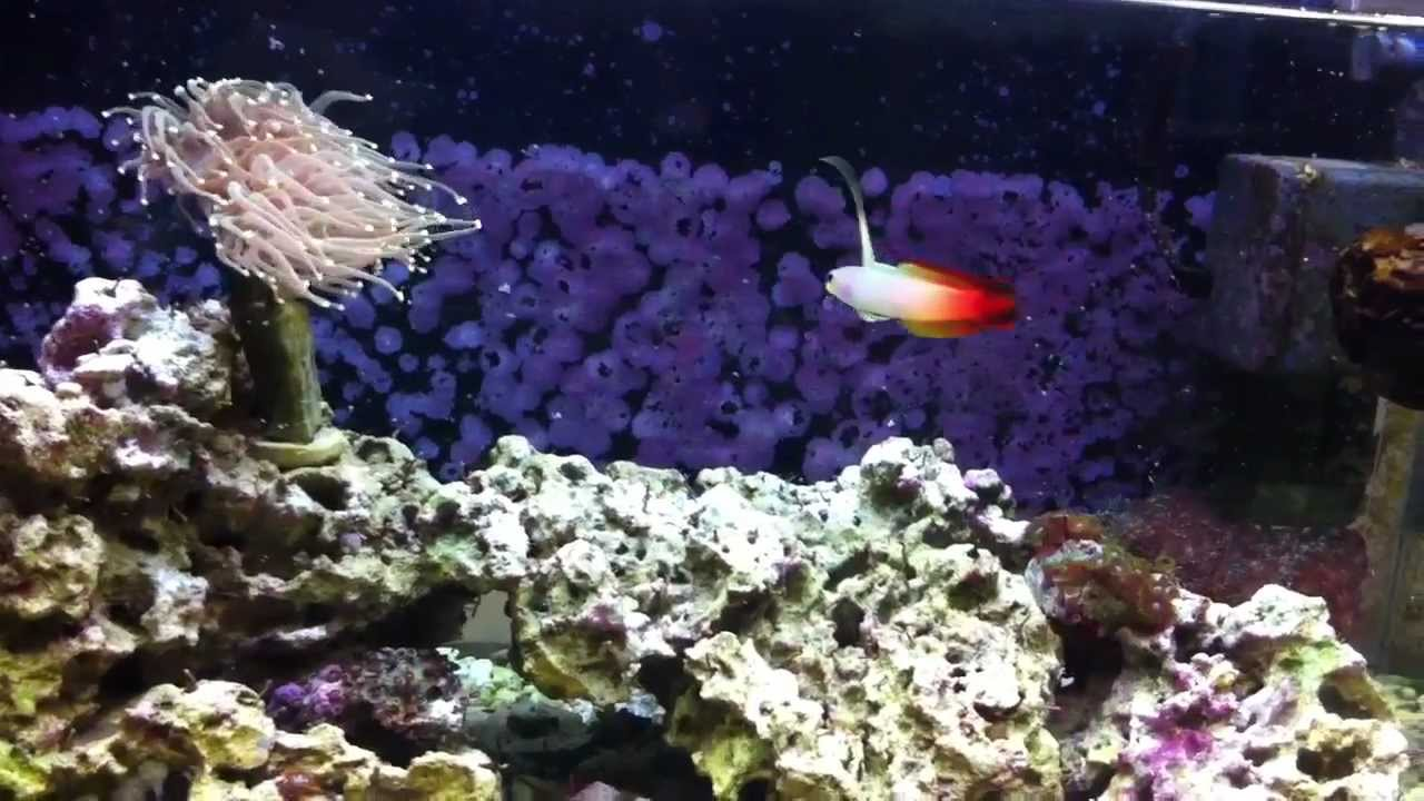 10 gallon coral saltwater fish tank youtube for Saltwater fish for 10 gallon tank