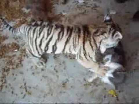 Tiger cub playing w/ a house cat! (They really are friends ...