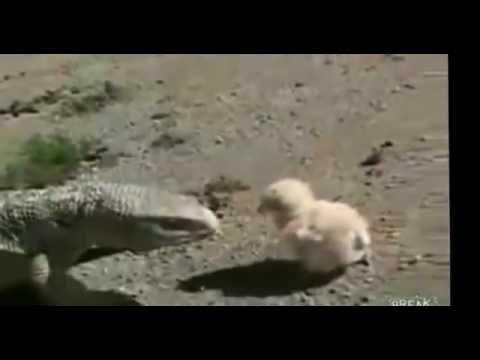 drac de komodo vs cocodril