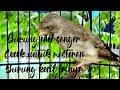 Burung Sanger Cocok Untuk Masteran Burung Kecil  Mp3 - Mp4 Download