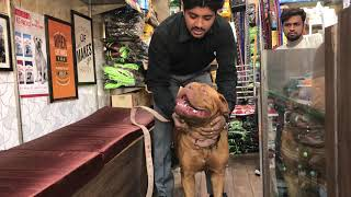 Your Friend French mastiff call 7275863266 / 9140752208