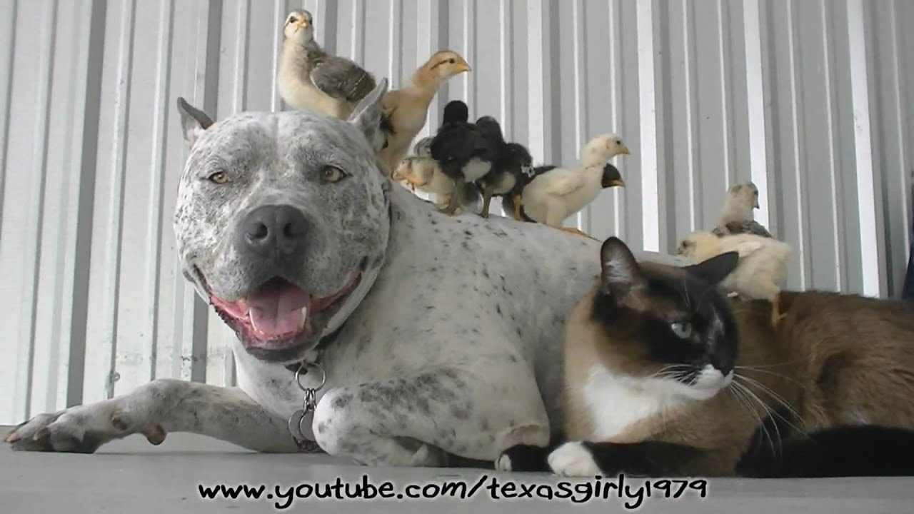 Bull Terrier And Cat Youtube