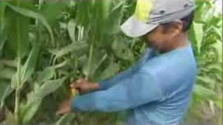 Filipino Farmer Jerry Due