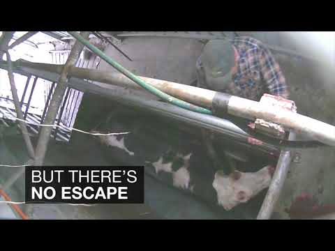 Here's What Dairy Farms Do to Cows Who No Longer Produce Milk