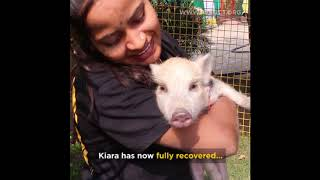 Wounded and Paralysed baby pig, rescued. //RESQCT Pune