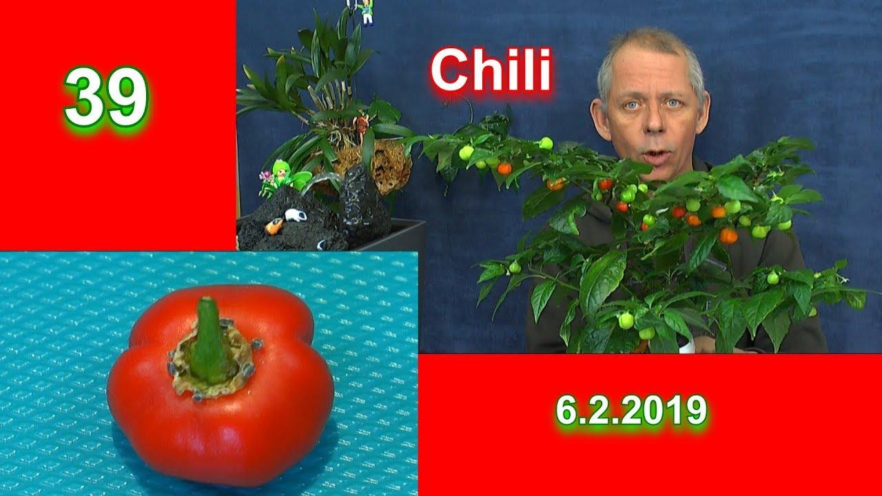 Chili ernten und trocknen