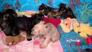 Miniature Schnauzer Puppies For Sale In Central Pa