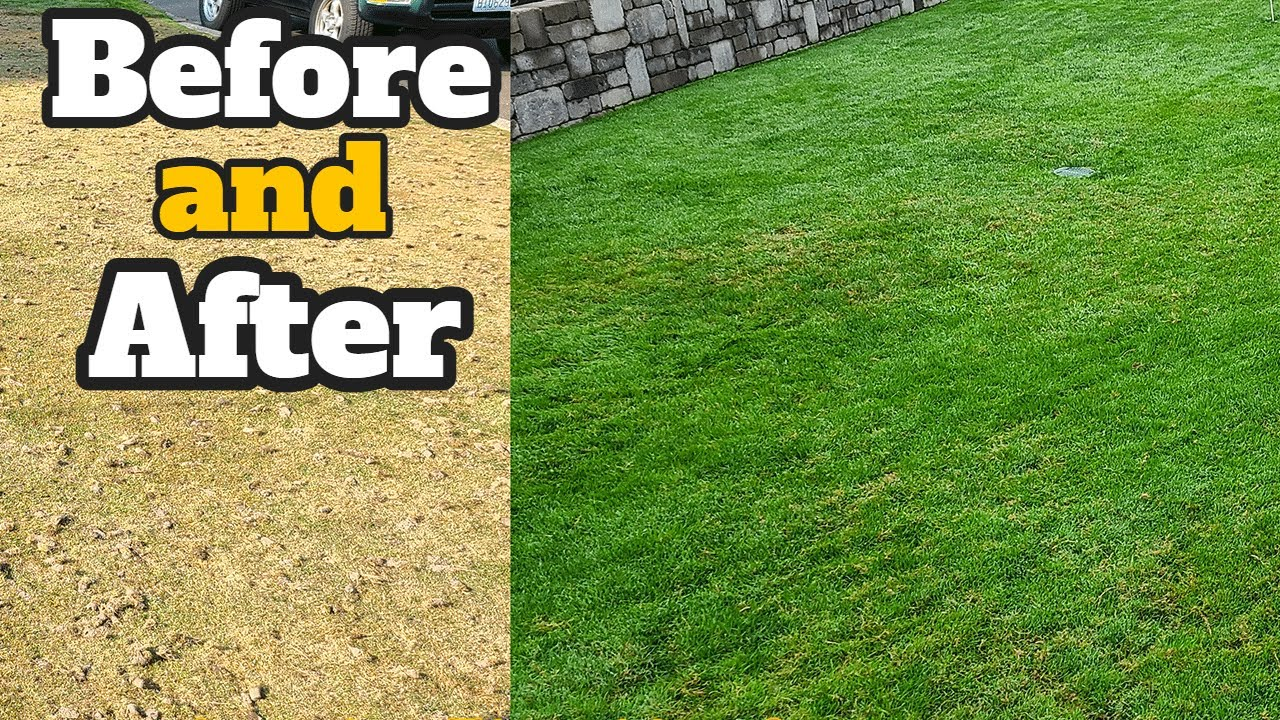 North Seattle Lawn Renovation Aerating Seeding And Fertilizer Before After Fall 2020 You