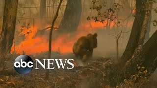 Bushfires in Australia threaten koalas with extinction
