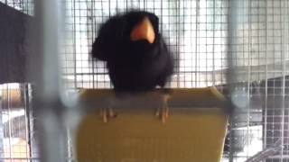 burung tiong mas mandi