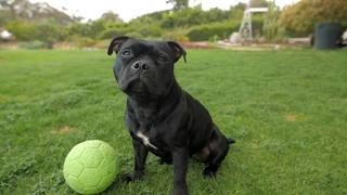 Lily The Staffordshire Bull Terrier