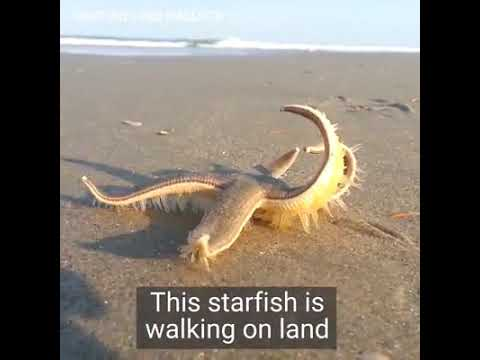 The Biggest  Starfish  In  The  World   |   Zeroxe  Channel