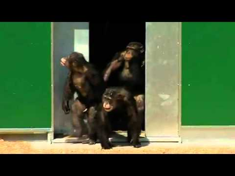 Release of chimpanzees, 30 years after undergoing experiments