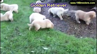 Golden Retriever, Puppies, For, Sale, In, Green Bay, Wisconsin, Wi, Eau Claire, Waukesha, Appleton,