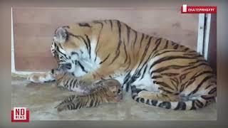 В цирке родились тигрята