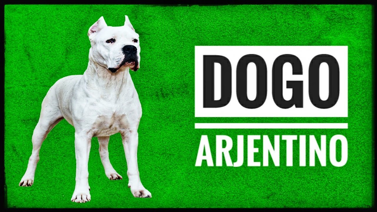 Meet The US Imported Dog In Hyderabad | Dogo Argentino ...