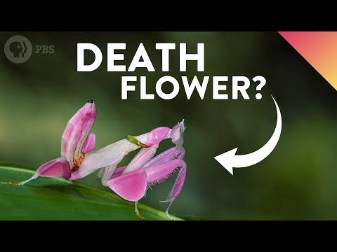 Orchid Mantis: Looks That Kill